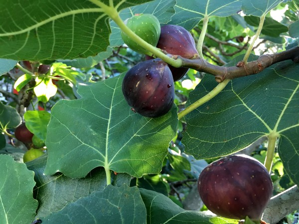 Fig tree bears fruit